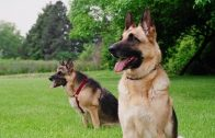guard-dogs